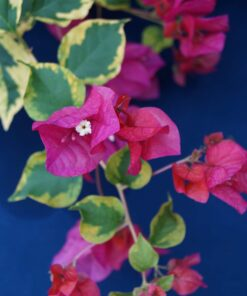 Bougainvillea Flowers Online Fantasy Red