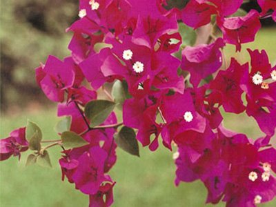Barbara-Karst Bougainvillea Flowers