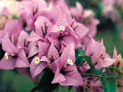 Easter-Parade Bougainvillea Flowers
