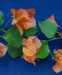 Bougainvillea Flowers Online Afterglow (2)