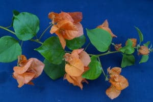 Bougainvillea Flowers Online Afterglow (2)