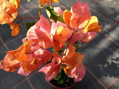 Bougainvillea Flowers Online Alabama Sunset