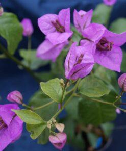 Bougainvillea Flowers Online Ameythest
