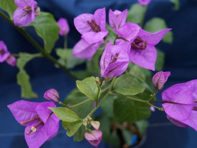 Bougainvillea Flowers Online Ameythest