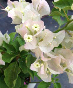 Bougainvillea Flowers Online Apple Blossom