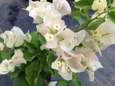Bougainvillea Flowers Online Apple Blossom