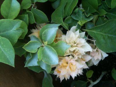 Bougainvillea Flowers Online Aussie Gold