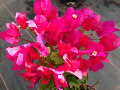 Bougainvillea Flowers Online Barabara Karst