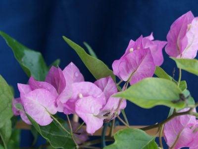 Bougainvillea Flowers Online Beba (2)
