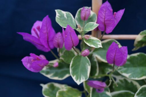 Bougainvillea Flowers Online Blueberry Ice (2)