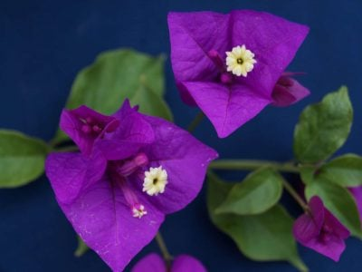 Bougainvillea Flowers Online Braziliensus (2)