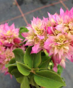 Bougainvillea Flowers Online Bridal Bouquet (3)