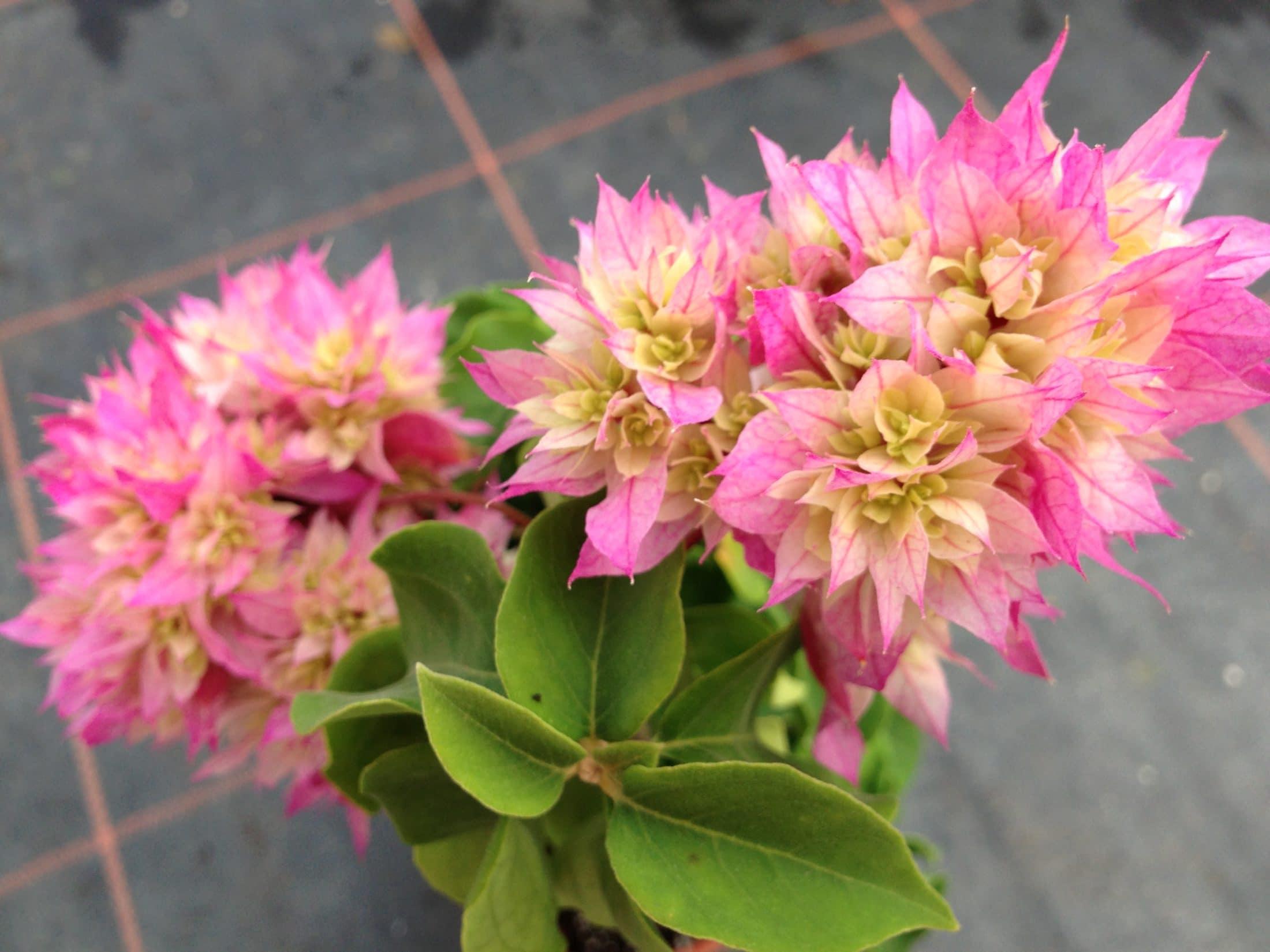 Bougainvillea Bridal Bouquet