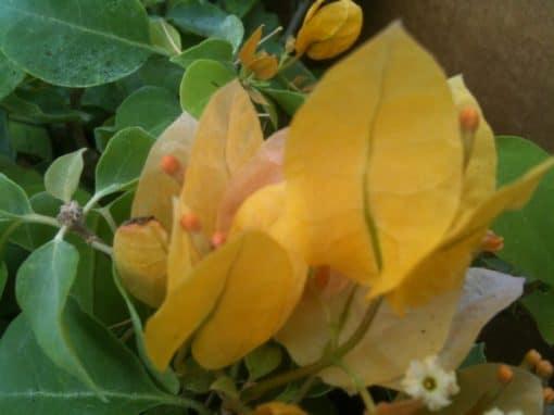 Bougainvillea Flowers Online Californian Gold