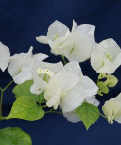 Bougainvillea Flowers Online Coconut Ice (3)