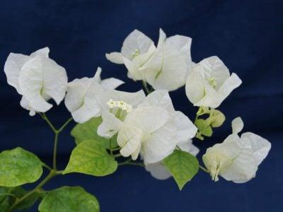 Bougainvillea Flowers Online Coconut Ice (3)