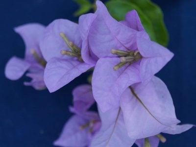 Bougainvillea Flowers Online Cypheri (2)