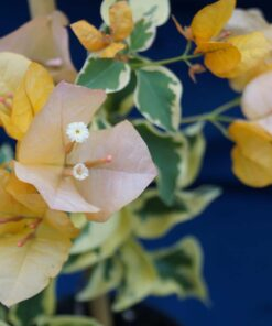 Bougainvillea Flowers Online Delta Dawn (2)