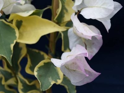 Bougainvillea Flowers Online Double Delight