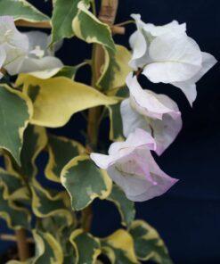 Bougainvillea Flowers Online Double Delight