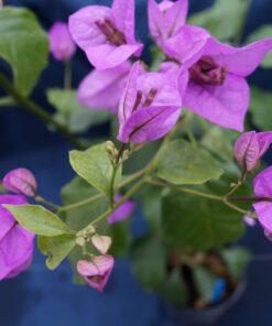 Bougainvillea Flowers Online Easter Parade (3)