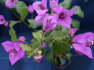 Bougainvillea Flowers Online Easter Parade (3)