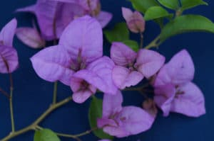 Bougainvillea Flowers Online Elizebeth Angus