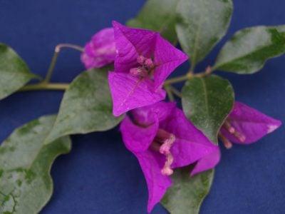 Bougainvillea Flowers Online Elsbeth