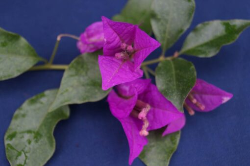 Bougainvillea Flowers Online Elsbeth
