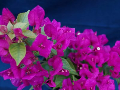 Bougainvillea Flowers Online Finina (2)