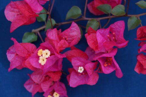 Bougainvillea Flowers Online Flame