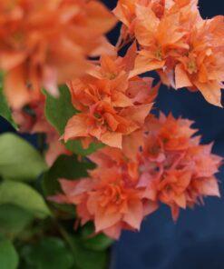 Bougainvillea Flowers Online Golden Dubloon (2)