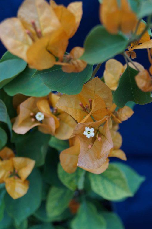 Bougainvillea Flowers Online Golden Glow