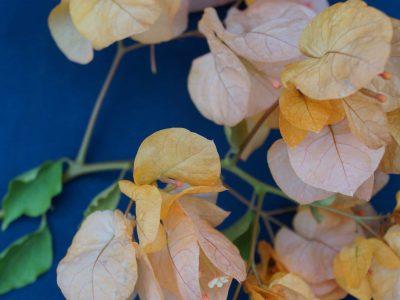 Bougainvillea Flowers Online Golden Tanyo