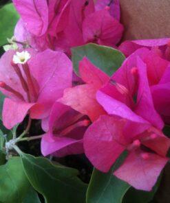 Bougainvillea Flowers Online Helen Johnson