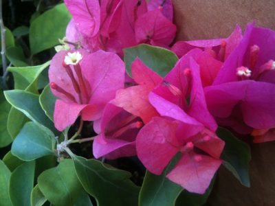 Bougainvillea Flowers Online Helen Johnson