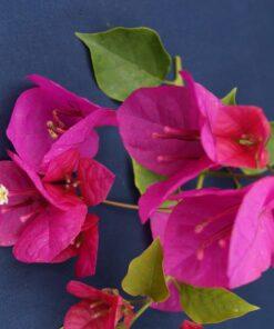 Bougainvillea Flowers Online Hugh Evans