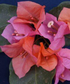 Bougainvillea Flowers Online James Walker