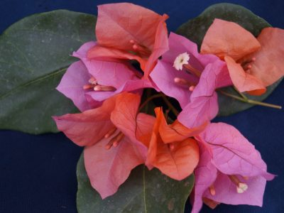 Bougainvillea Flowers Online James Walker