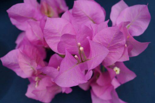 Bougainvillea Flowers Online Jubliee Showlady