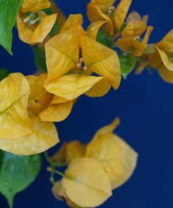 Bougainvillea Flowers Online Lady Mary Baring