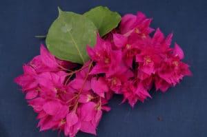 Bougainvillea Flowers Online Mahara