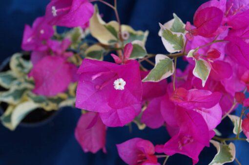 Bougainvillea Flowers Online Mardi Gras (3)