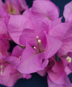 Bougainvillea Flowers Online Mary Palmer