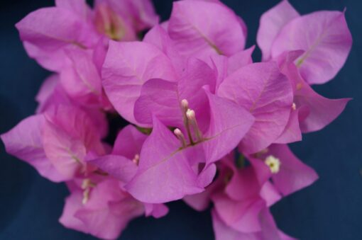 Bougainvillea Flowers Online Mary Palmer
