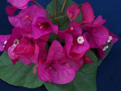 Bougainvillea Flowers Online Maureen Hatton