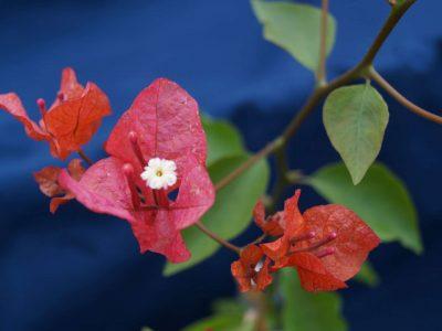 Bougainvillea Flowers Online Miss Manilla