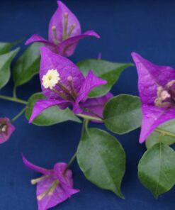 Bougainvillea Flowers Online New River