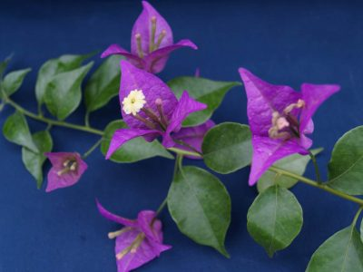 Bougainvillea Flowers Online New River