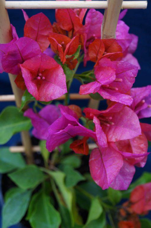 Bougainvillea Flowers Online Ole